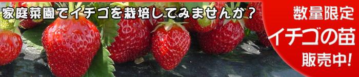 イチゴ苗の販売中です